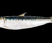 Fenomenologia della sardina
